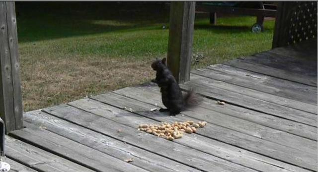 Black Squirrel at Len's Cottage